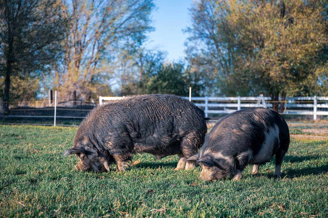 Big domestic pigs with gray fur feeding green grass on fenced meadow behind trees in summer