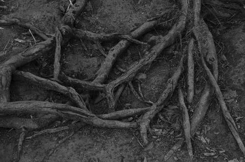 Free stock photo of dead trees, roots