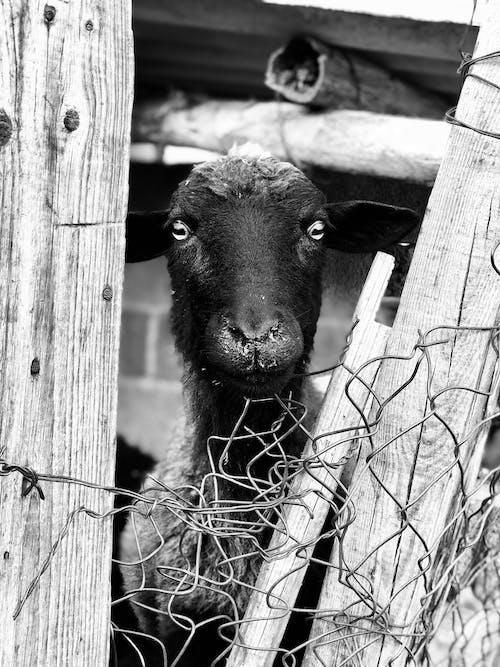 Fotos de stock gratuitas de adentro, animal, artiodactyla, asomar