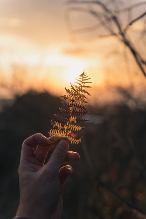 Crop person with thin ornamental leaf at bright sunset