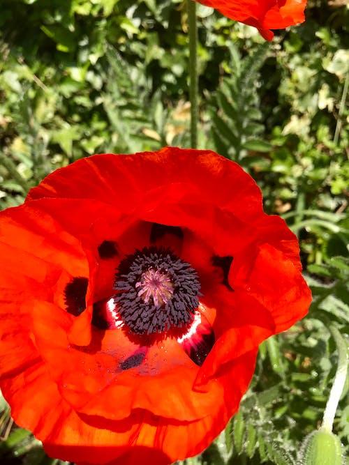 Free stock photo of poppy flower, red flower, summer flower