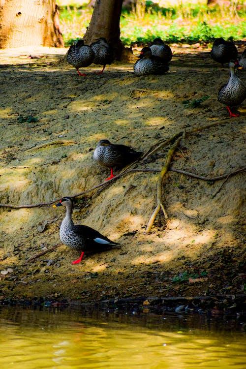 Základová fotografie zdarma na téma divočina, divoké kachny, fotografie, koupací kachničky