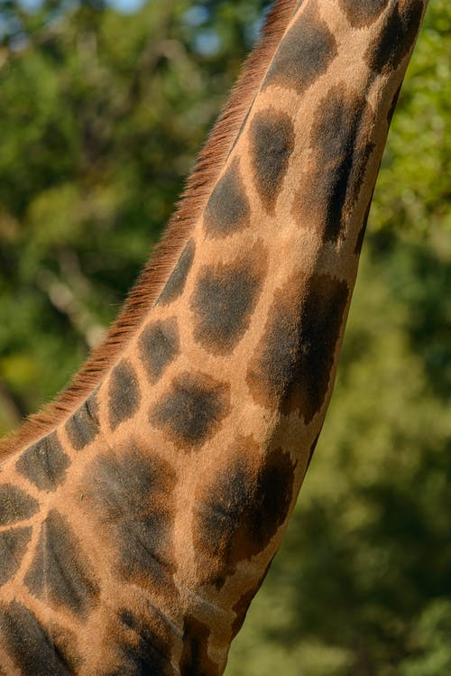 Elongated spotted neck of giraffe with mane standing near green trees in summer in zoological garden