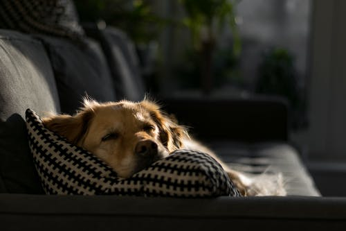 Photo of Brown Dog Lying on Throw Pillow