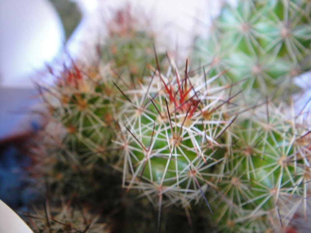 Free stock photo of cactus, green, macro