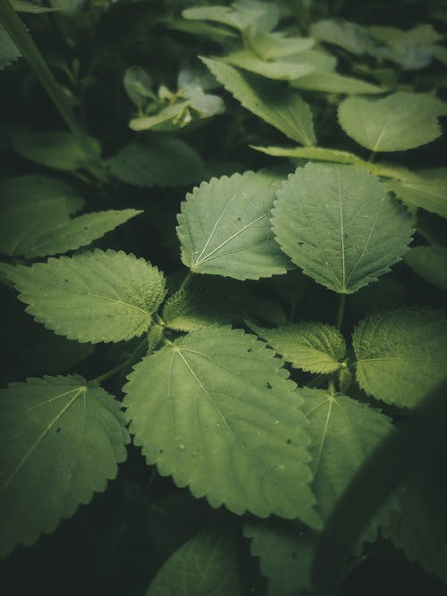 High angle stinging burning nettle plants with tiny needle like hair on leaves growing in lush forest