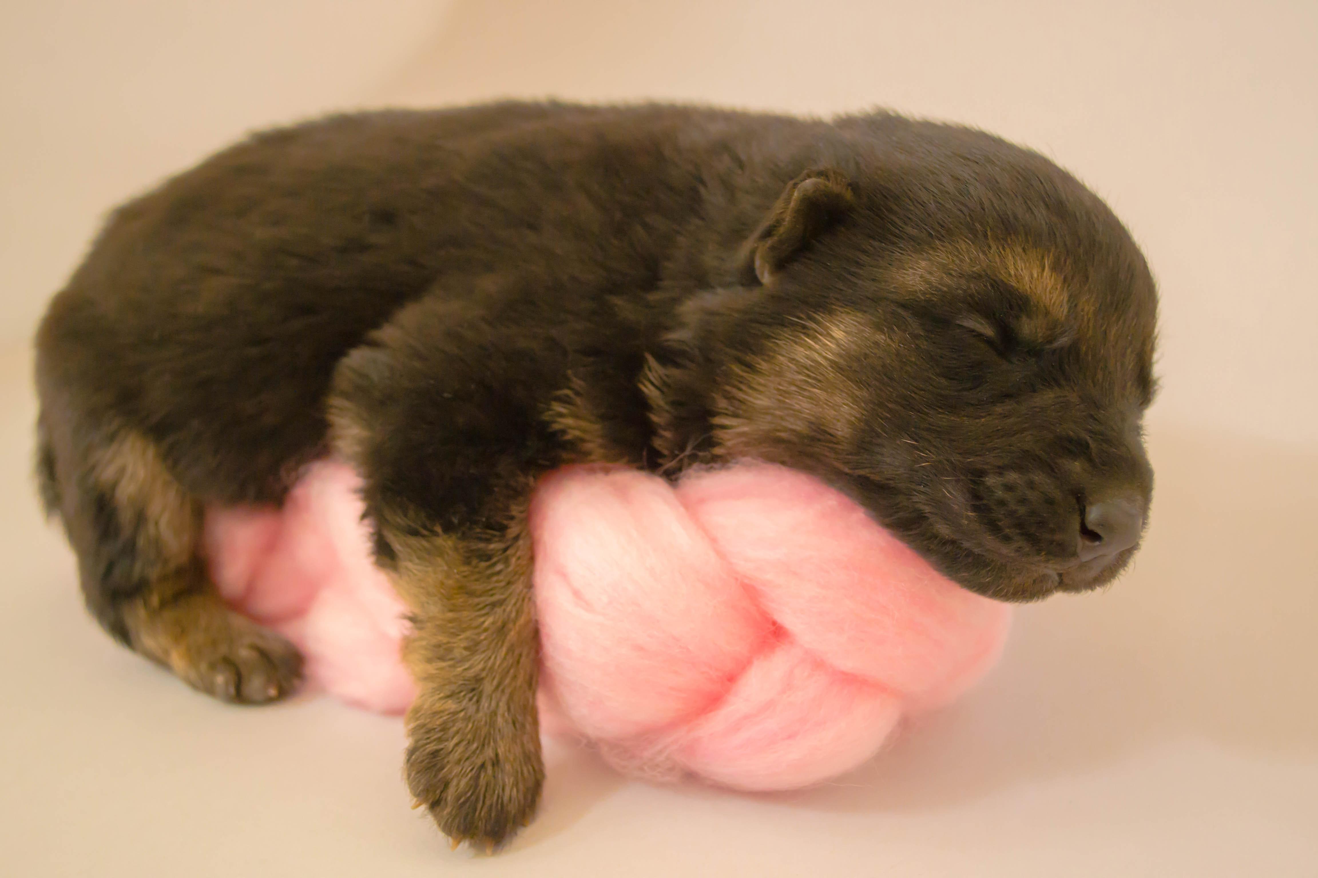 Foto Stok Gratis Tentang Anak Anjing Anjing Baru Lahir