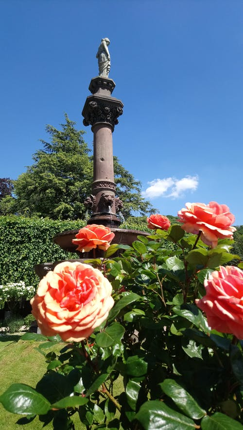 Free stock photo of garden roses