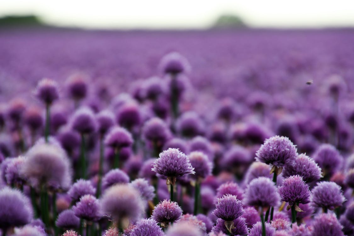Purple Chives Field