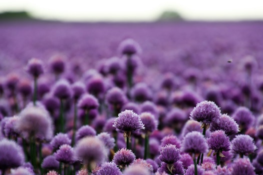 Free stock photo of nature, field, flowers, purple