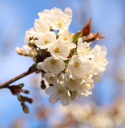 Gratis lagerfoto af kirsebærblomster