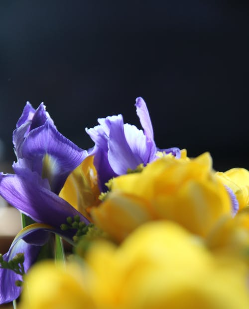 Free stock photo of beautiful flower, freesia, tulips