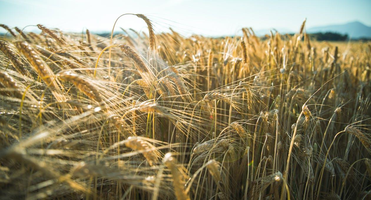 天性, 天空, 小麥 的 免費圖庫相片