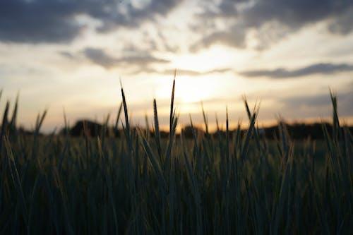 Wheat field in sunset in summer