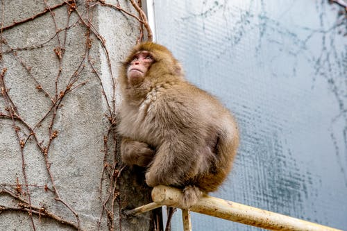 Brown Monkey on Brown Wooden Fence