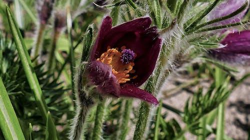 Free stock photo of kwiat, kwitnienie, pasqueflower