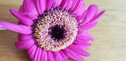 Free stock photo of Bloomed out, center, dead flower, gerbera