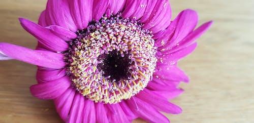 Ảnh lưu trữ miễn phí về hoa chết, hoa đồng tiền, màu hồng nóng, nở ra