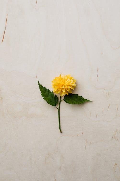 Tender yellow flower placed flat on desk