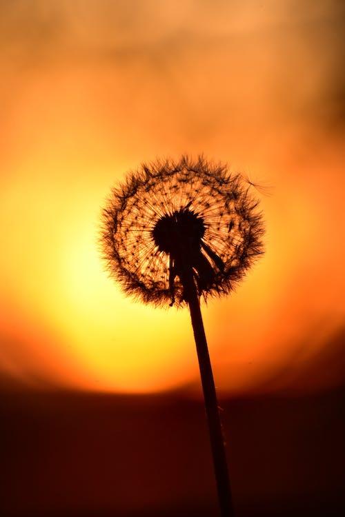 Free stock photo of back light, dandelion, dandelion flower, dandelion seed