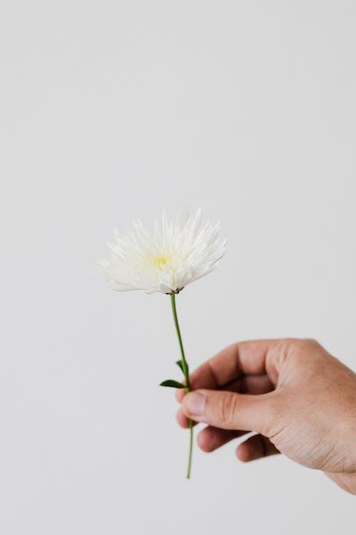 Crop gardener with white chrysanthemum
