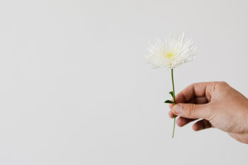 Crop unrecognizable florist with white chrysanthemum flower on fragile thin stem on white background
