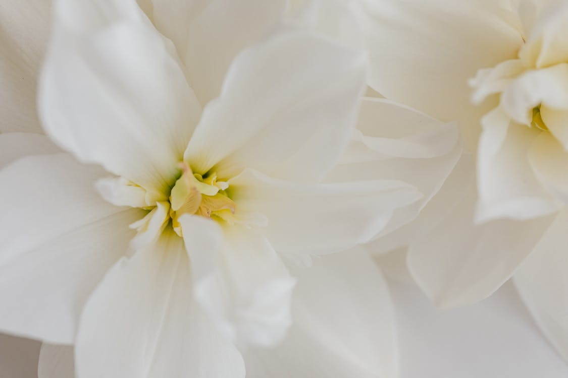 Closeup of white narcissus flowers on white background