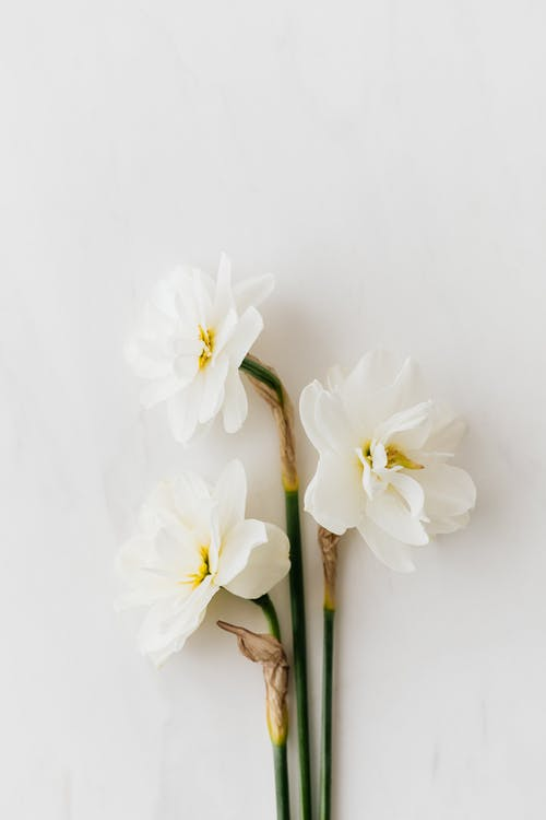 Fresh white daffodils on white background