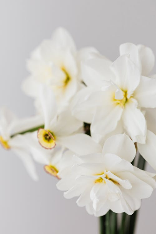 Delicate white narcissus flowers on white background
