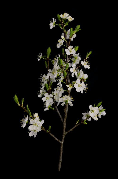 Free stock photo of apple tree, april, black background, blossoming