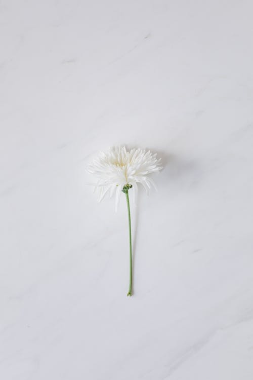 White Dandelion on White Snow