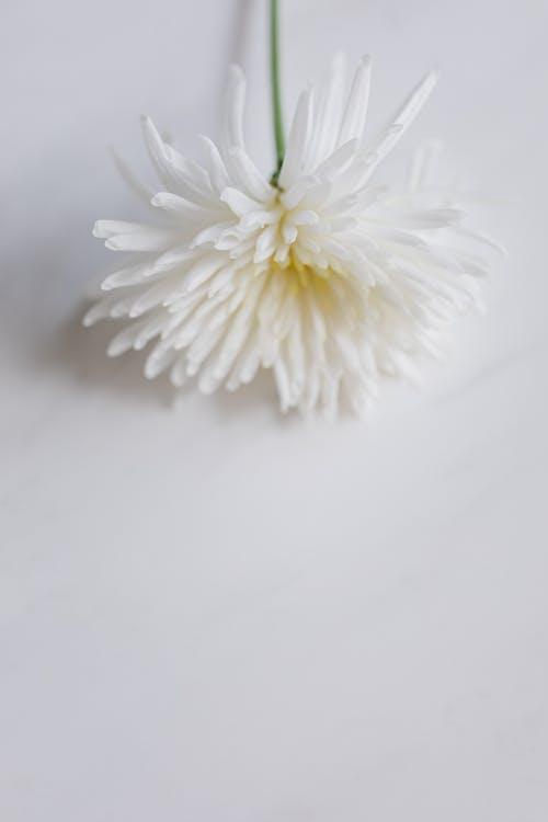 Delicate white mum flower on white table