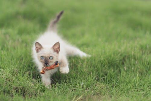 Základová fotografie zdarma na téma bílá kočka, dívání, divočina