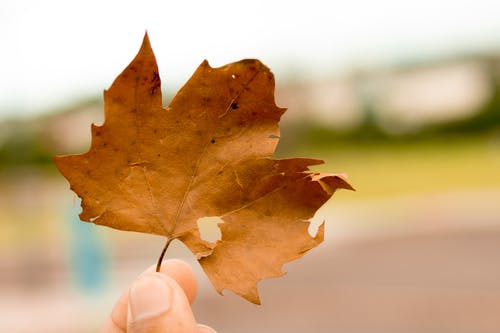 Person Holding Brown Maple Leaf