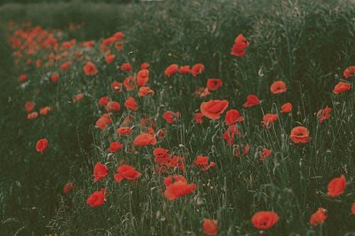 Red poppy flowers growing in dark green grass of meadow in summer in countryside