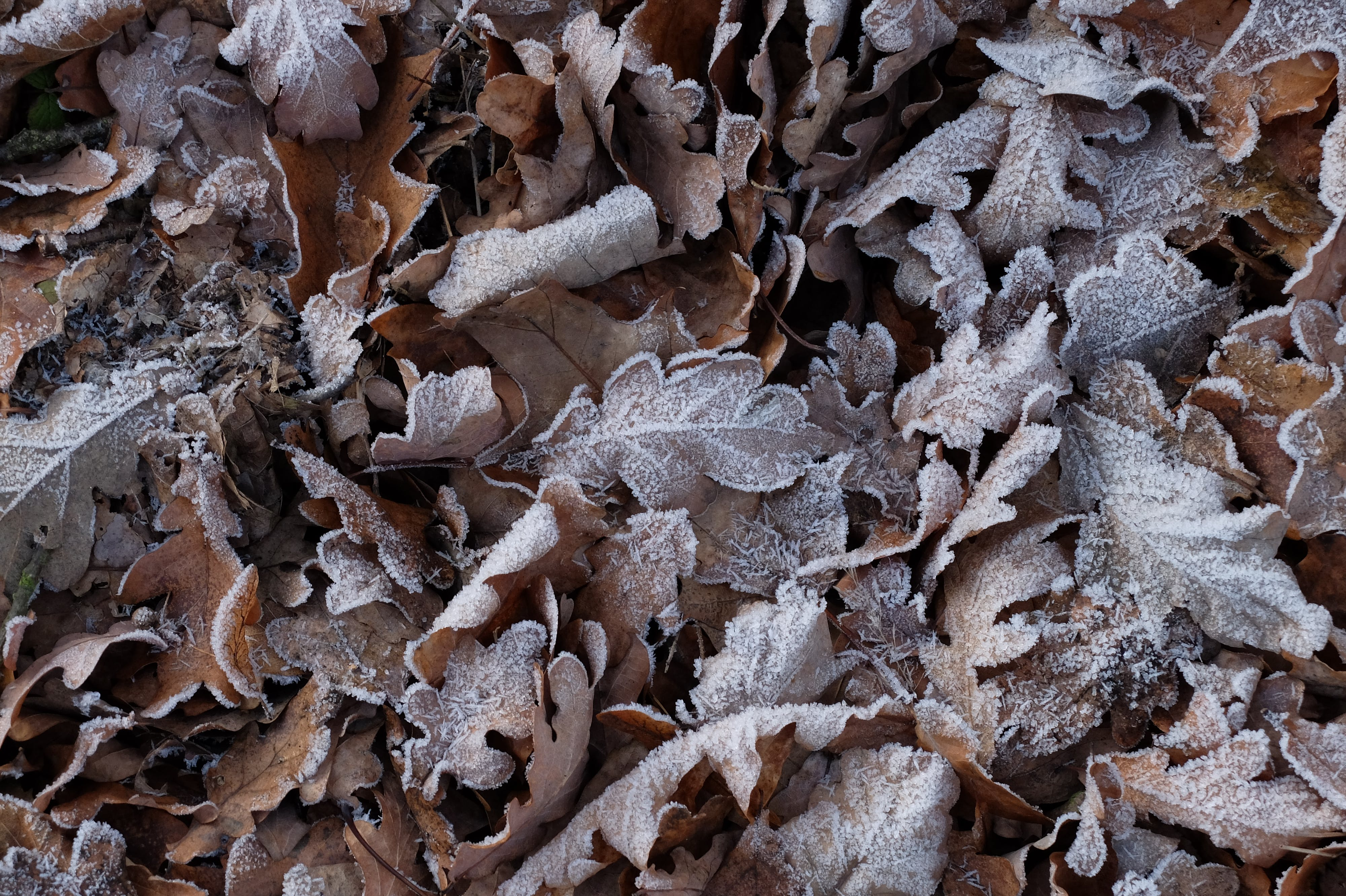 Free stock photo of autumn, frost, leaf, low temperature