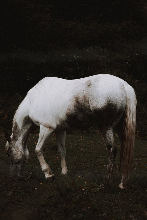 Domestic horse with gray coat color eating grass while grazing on pasture in summer in countryside