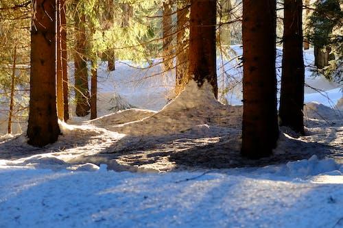 Безкоштовне стокове фото на тему «дерева, зима, ліс, підсвітка»