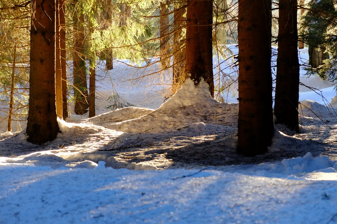 Free stock photo of backlight, forest, snow