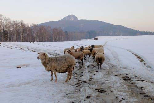 Безкоштовне стокове фото на тему «вівці, дерева, зима, пагорб»