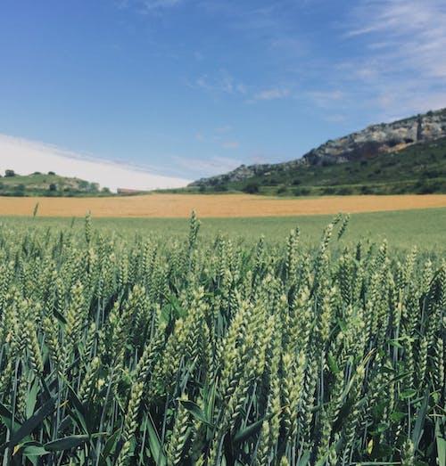 國家, 玉米, 自然的美, 鄉村 的 免費圖庫相片