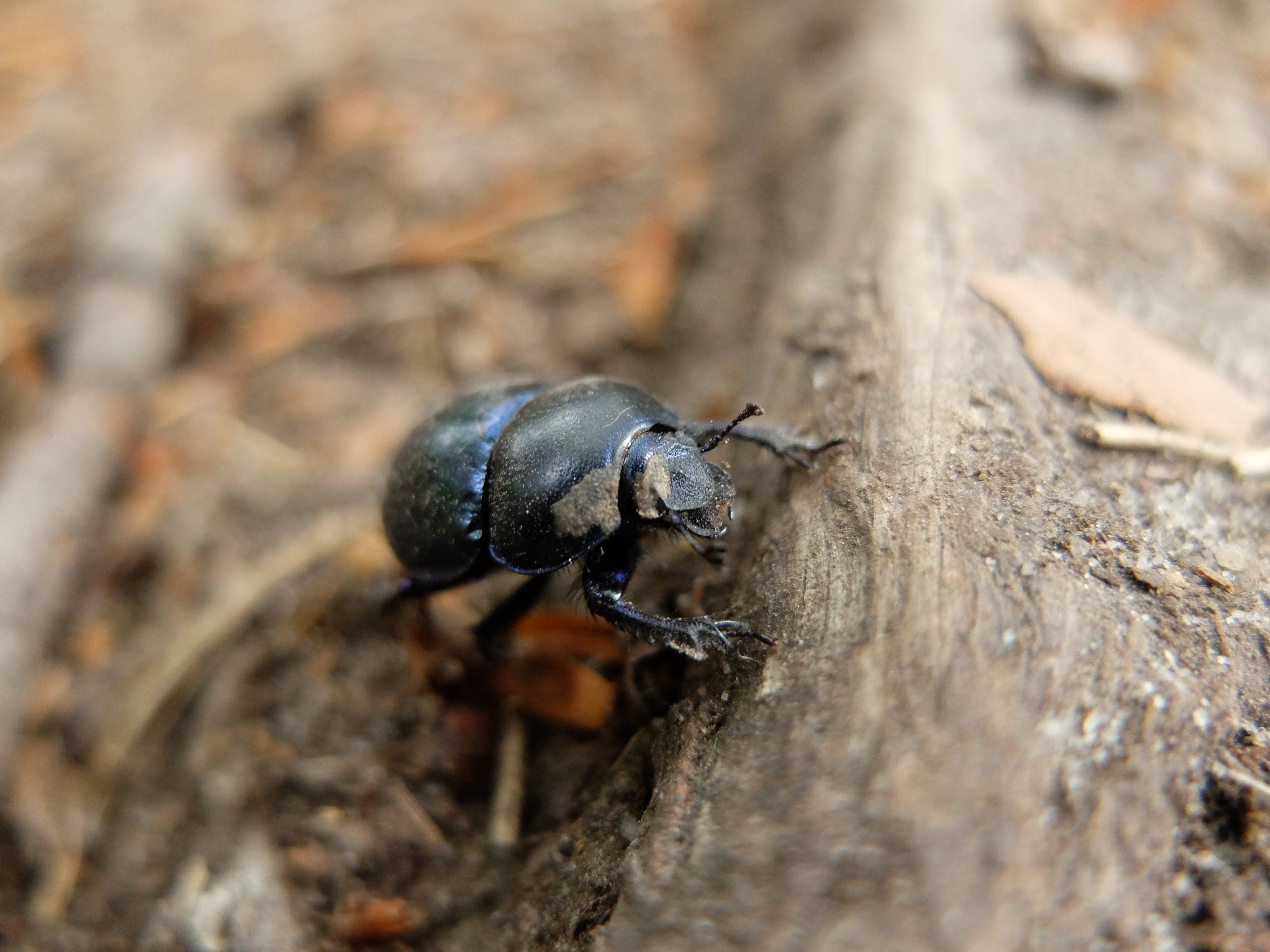 Free stock photo of Anoplotrupes stercorosus, bug, forest, nature