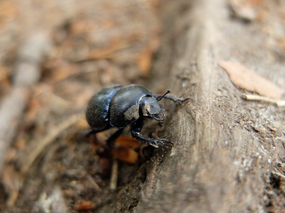 Free stock photo of anoplotrupes stercorosus, bug, forest