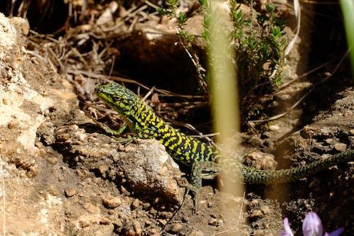 도마뱀, 돌의 무료 스톡 사진