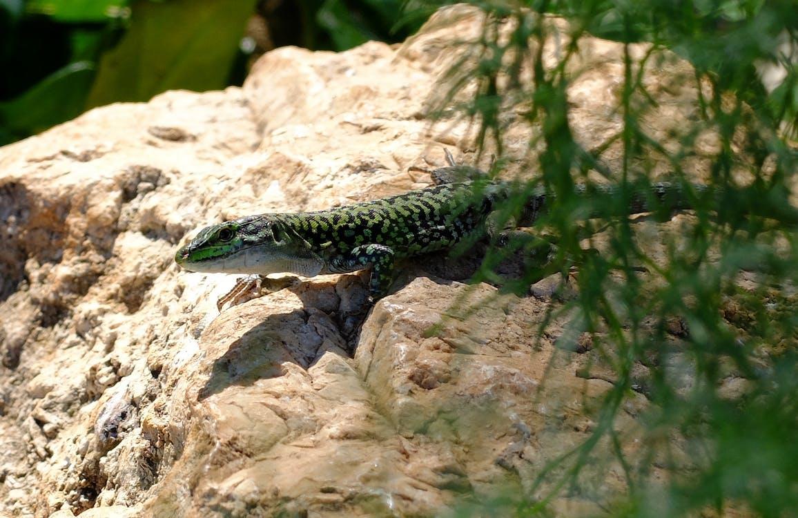 Free stock photo of lizard, stone