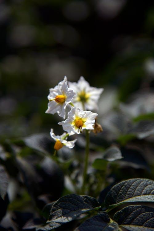 Free stock photo of cultivate, flowers, potato, potato plant