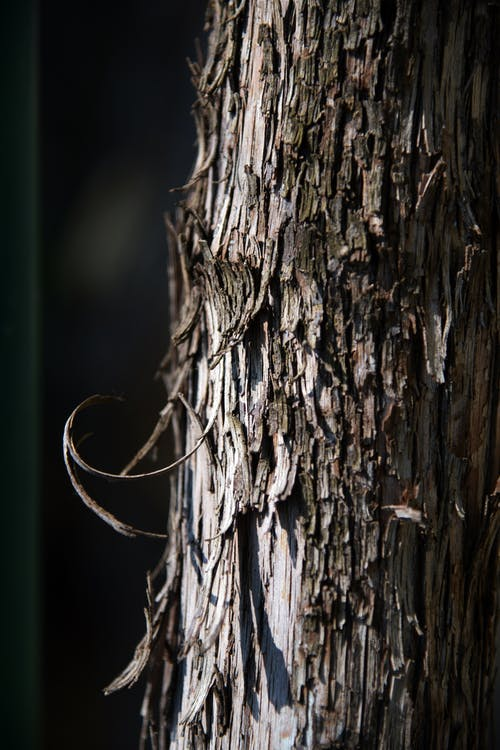Free stock photo of bark, close-up, curl, nature