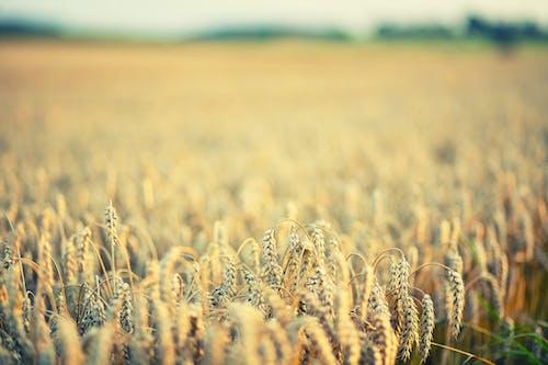 Photos gratuites de aube, blé, campagne, céréale