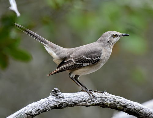 Side view of small gray Northern Mockingbird sitting on tree twig in nature