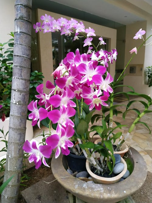 Free stock photo of purple orchids
